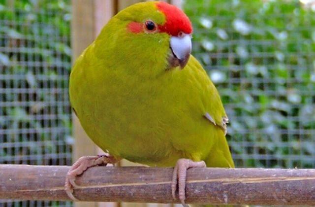 Попугай какарик в клетке