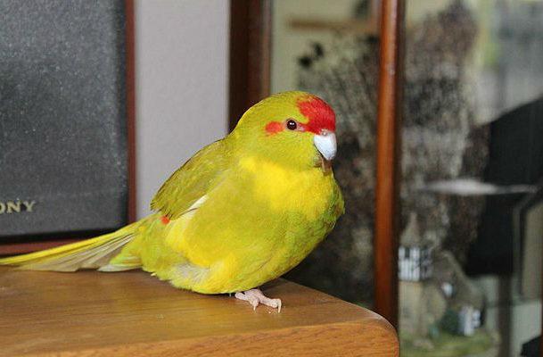 Попугай какарик в домашних условиях