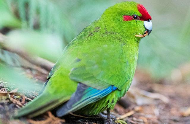 Попугай какарик - оперение