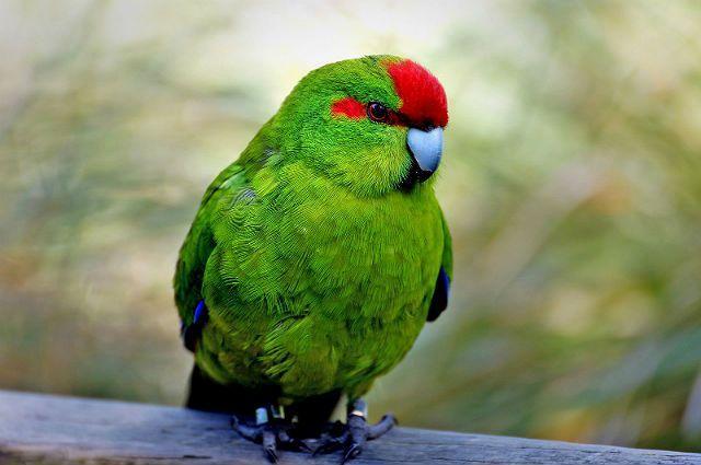 Попугай какарик - как выбрать