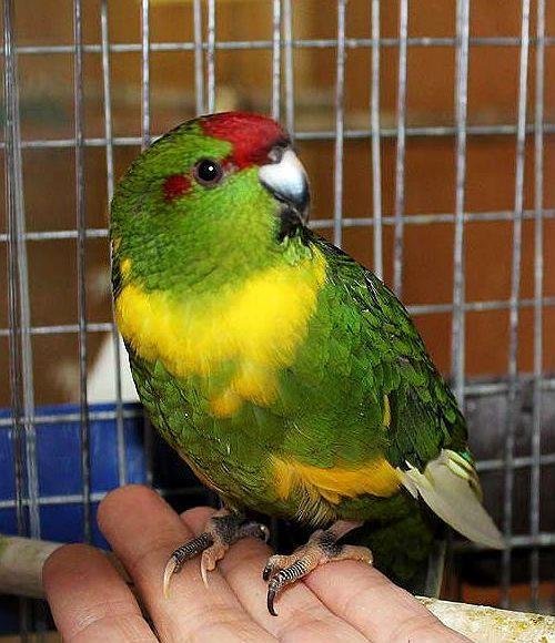 Попугай какарик - содержание