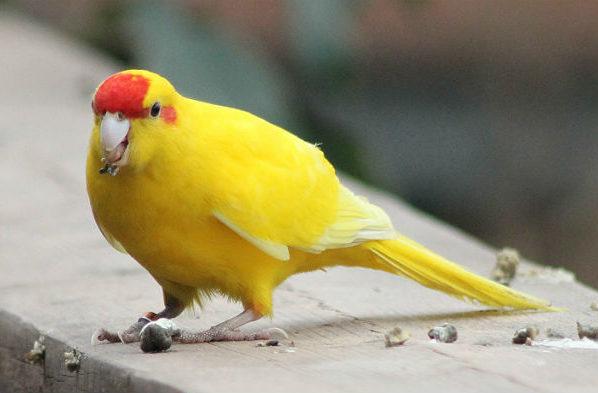 Попугай какарик жёлтый