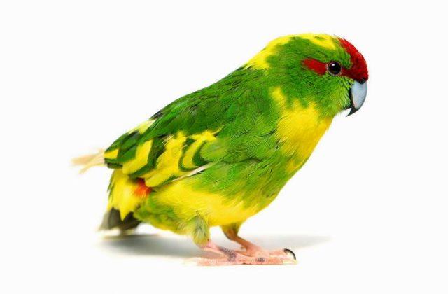 Попугай какарик краснолобый
