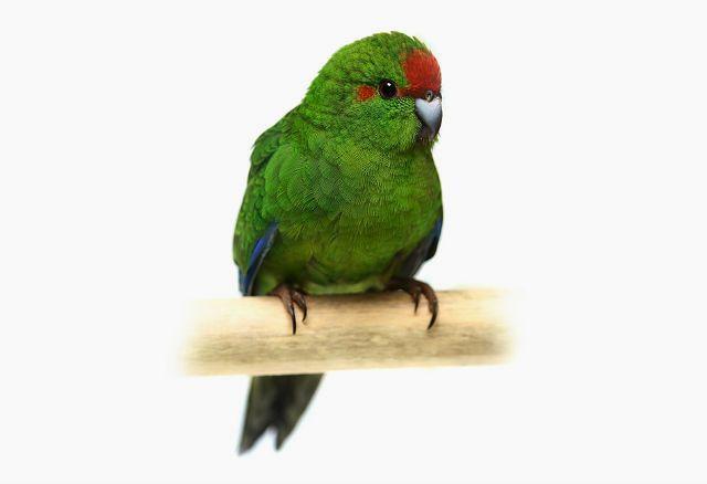 Попугай какарик - уход и содержание