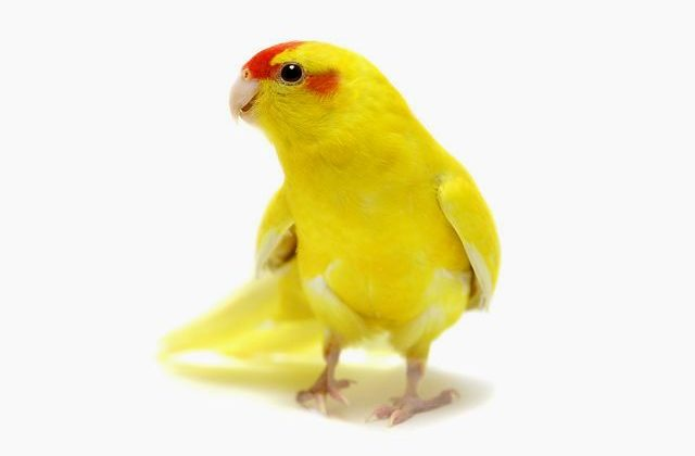Попугай какарик - вид спереди