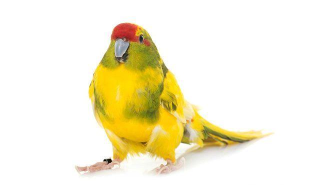 Попугай какарик - воспитание