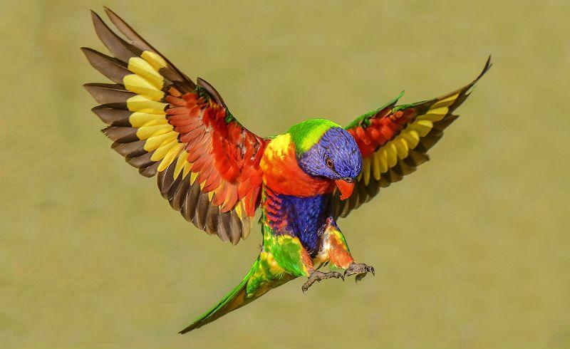 Попугай лорикет - главное фото