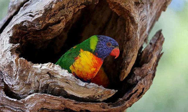 Попугай лорикет в дупле