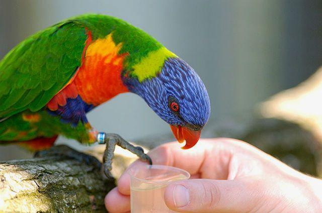 Попугай лорикет пьет воду