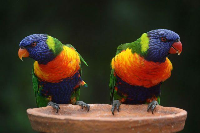 Попугай лорикет - внешний вид