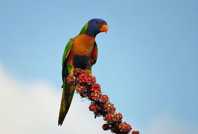 Попугай лорикет - кормление