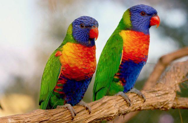 Попугаи лорикет сидят на веточке