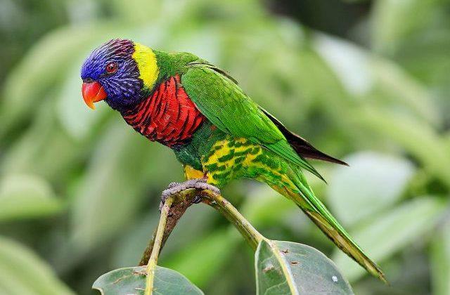 Попугай лорикет - вид сбоку