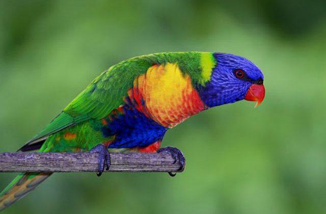 Попугай лорикет сидит на жердочке