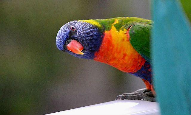 Попугай лорикет голова, клюв