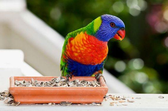 Попугай лорикет у кормушки