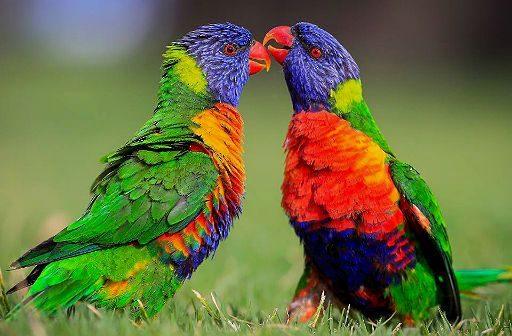 Два попугая лорикет