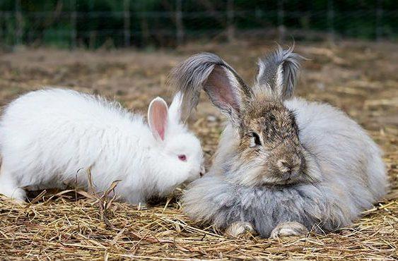 Два пушистых кролика
