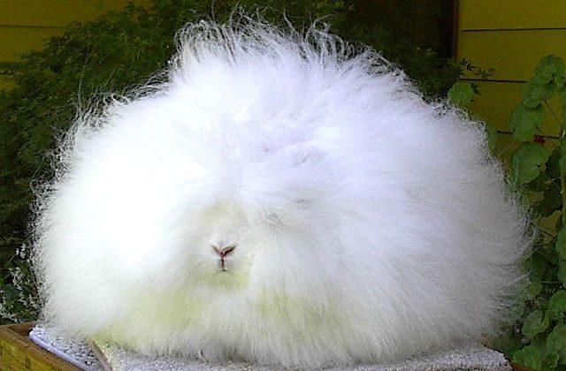 Белый пушистый кролик