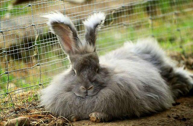 Серый пушистый кролик