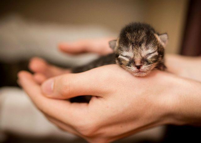Новорожденный котенок скоттиш фолд