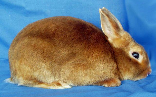 Сатиновый кролик-1