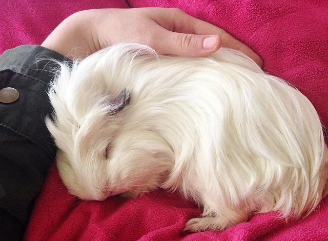 Белая морская свинка спит