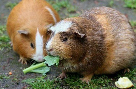 Морские свинки грызут зелень