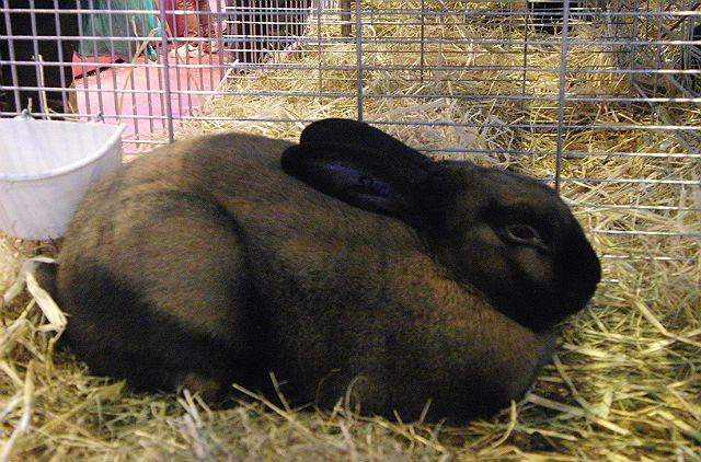 Тюрингенский кролик-1