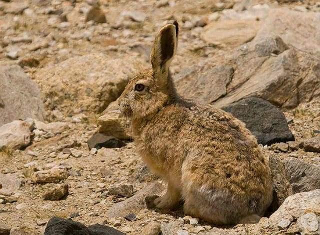 Тибетский курчавый заяц