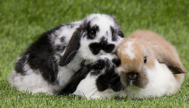Вислоухие кролики декоративных пород - главное фото