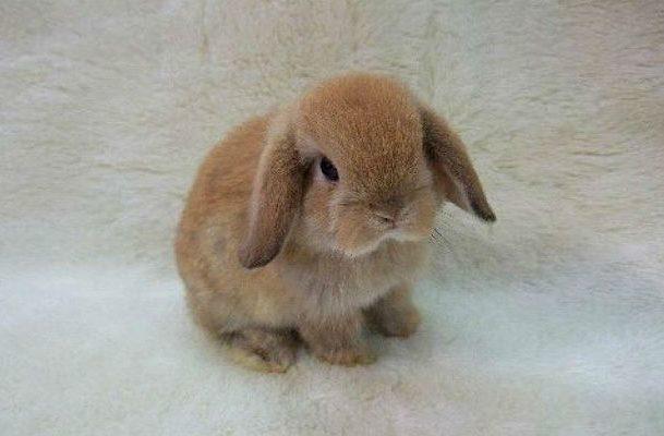 Вислоухий декоративный кролик (карликовый)