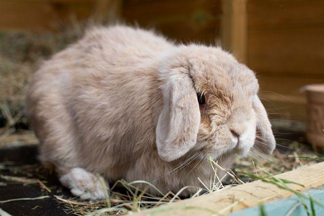 Вислоухие кролики декоративных пород - содержание
