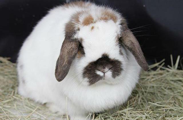 Вислоухий декоративный кролик пятнистый