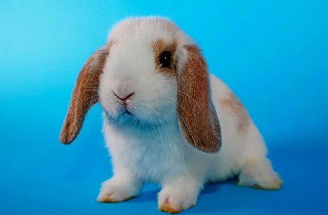 Вислоухий декоративный кролик на синем фоне