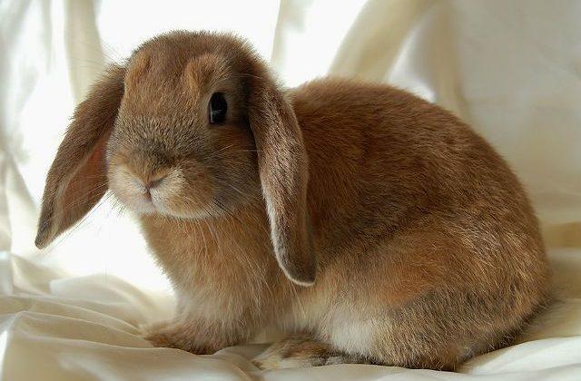 Декоративный вислоухий кролик - вид сбоку