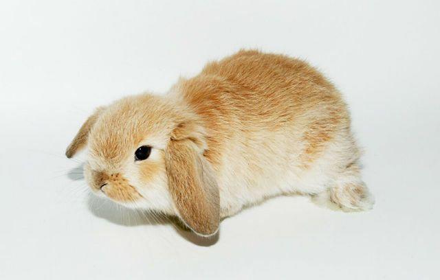 Малыш вислойхий кролик
