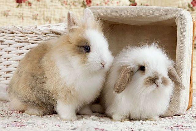 Вислоухие кролики декоративных пород - выбор питомца