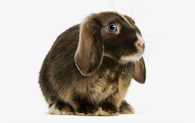 Вислоухий декоративный кролик темного окраса