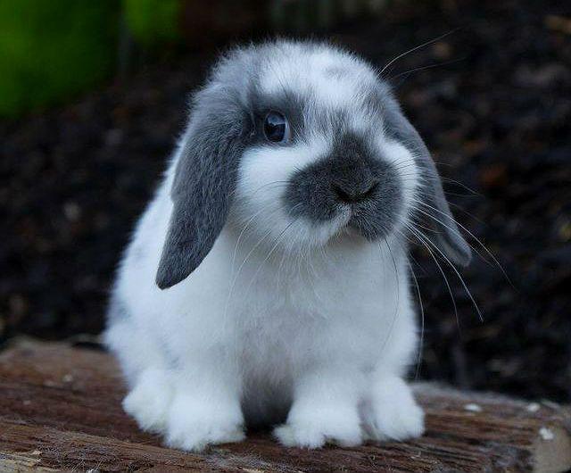 Вислоухие кролики декоративных пород - здоровье