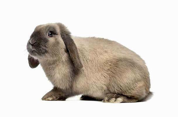 Вислоухий декоративный кролик-0