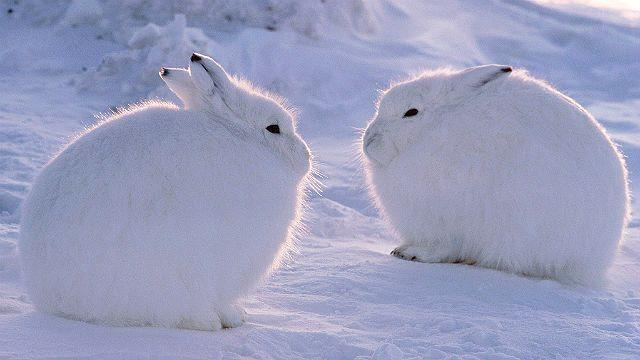 Арктический заяц беляк