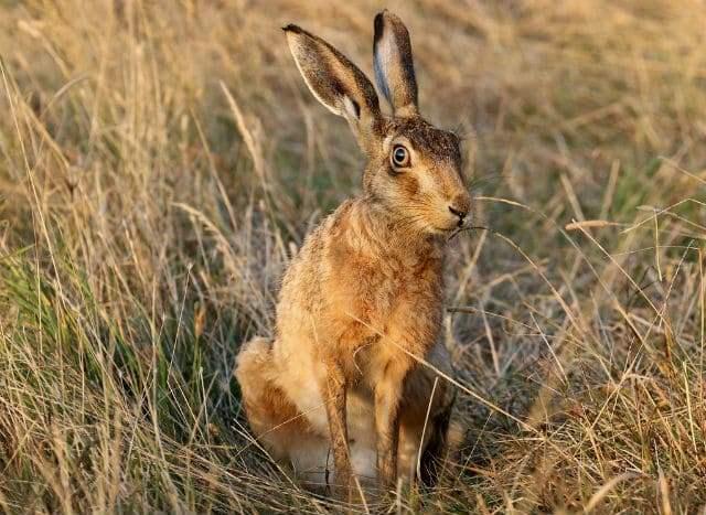Золотистый заяц