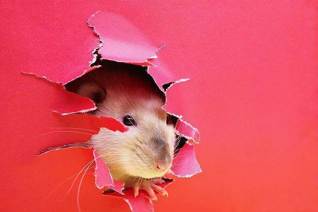 Декоративные крысы - бешенство