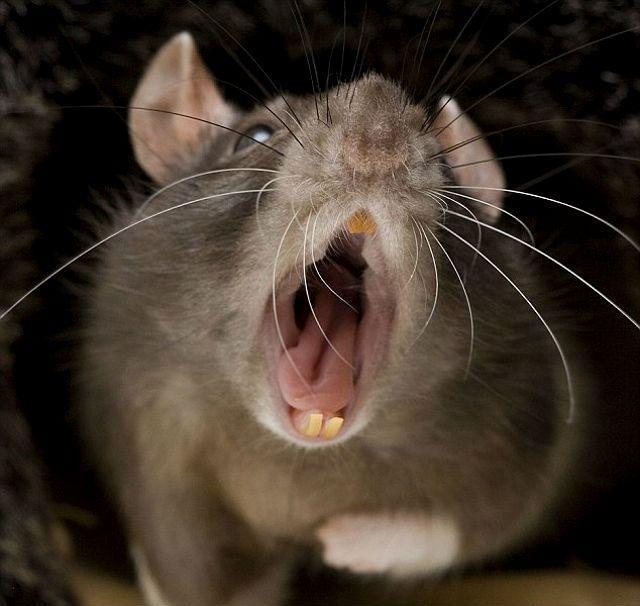 Декоративная крыса - укус