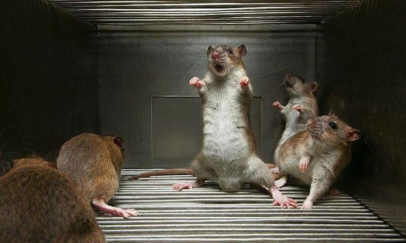 Бешенство у крыс - главное фото