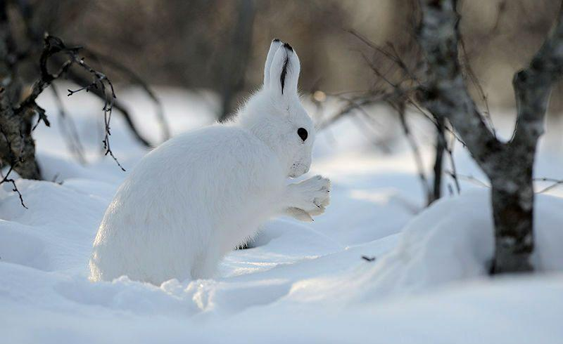 Чем питается заяц зимой - главное фото