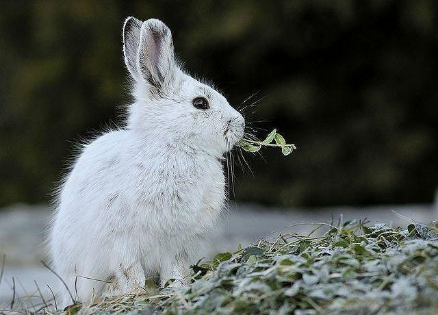 Пища зайца зимой