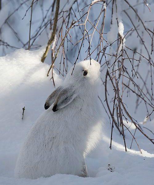 Питание зайца зимой