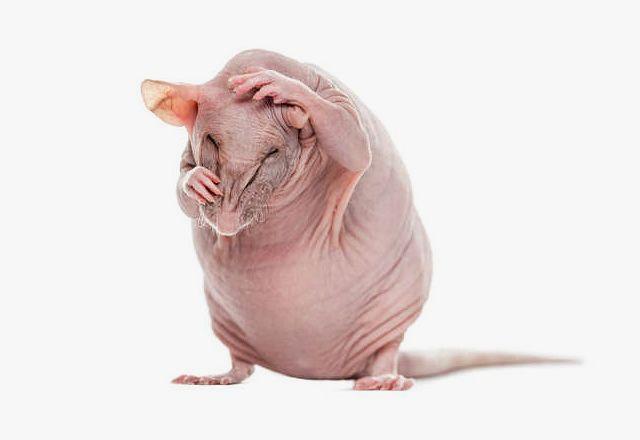 Декоративные крысы сфинксы - чистоплотность